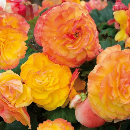 Begonia Fortune Golden Picotee